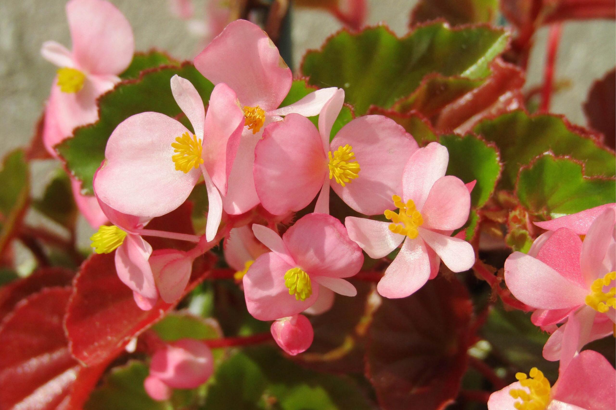 blog begonia