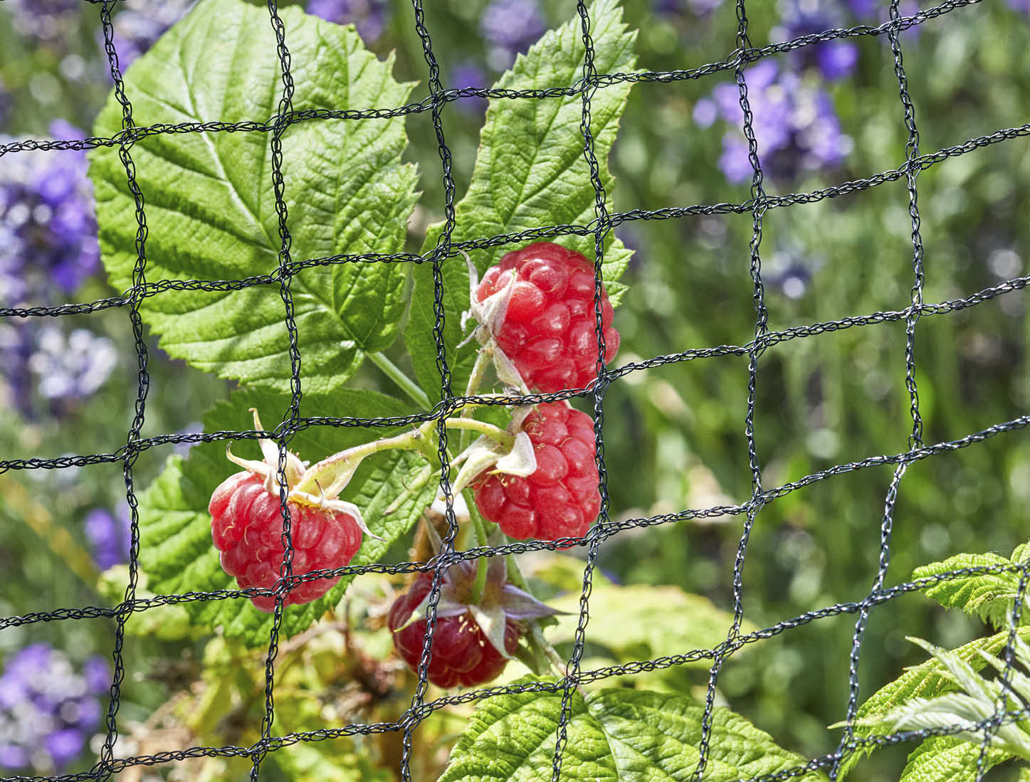 raspberry netting