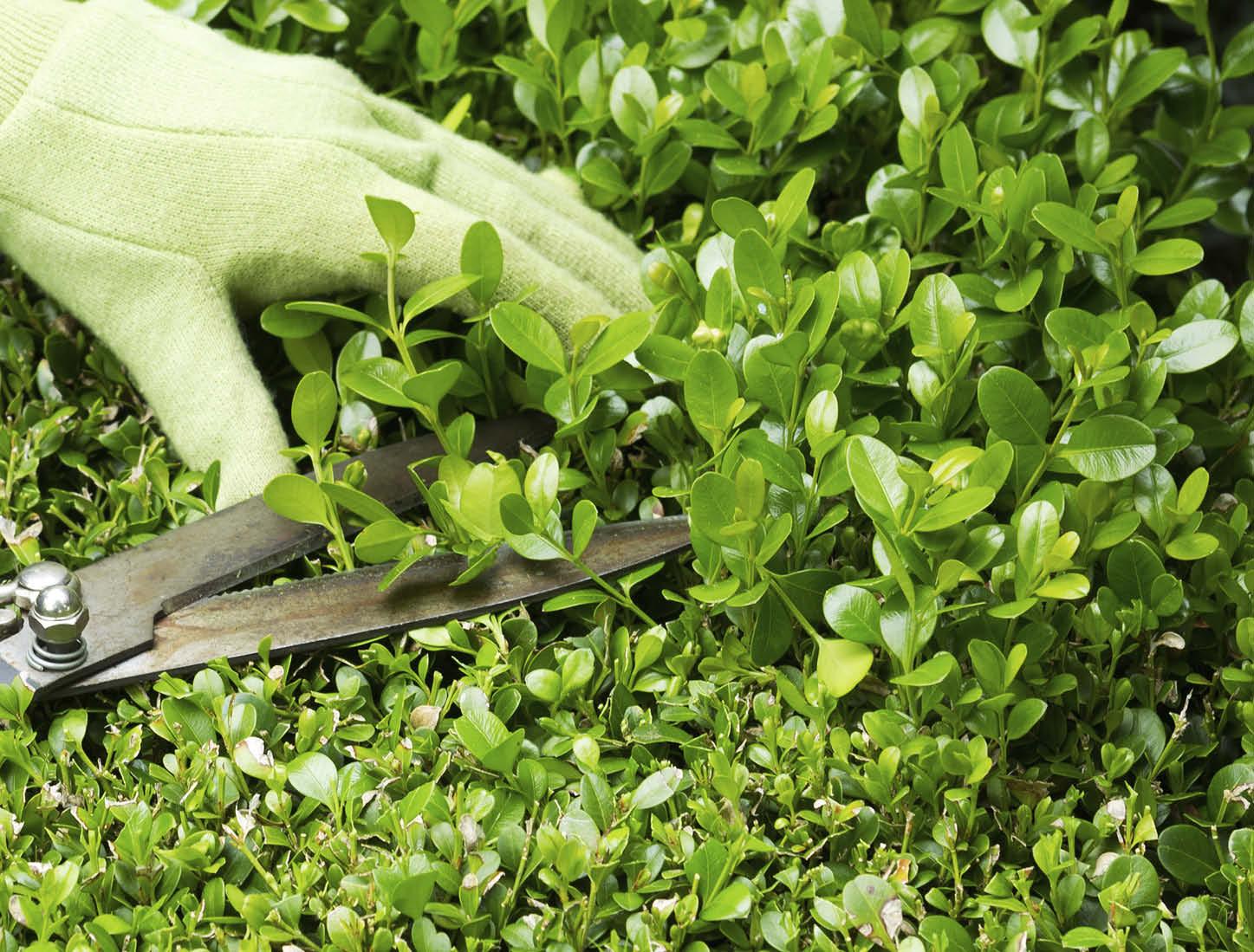 trim hedge