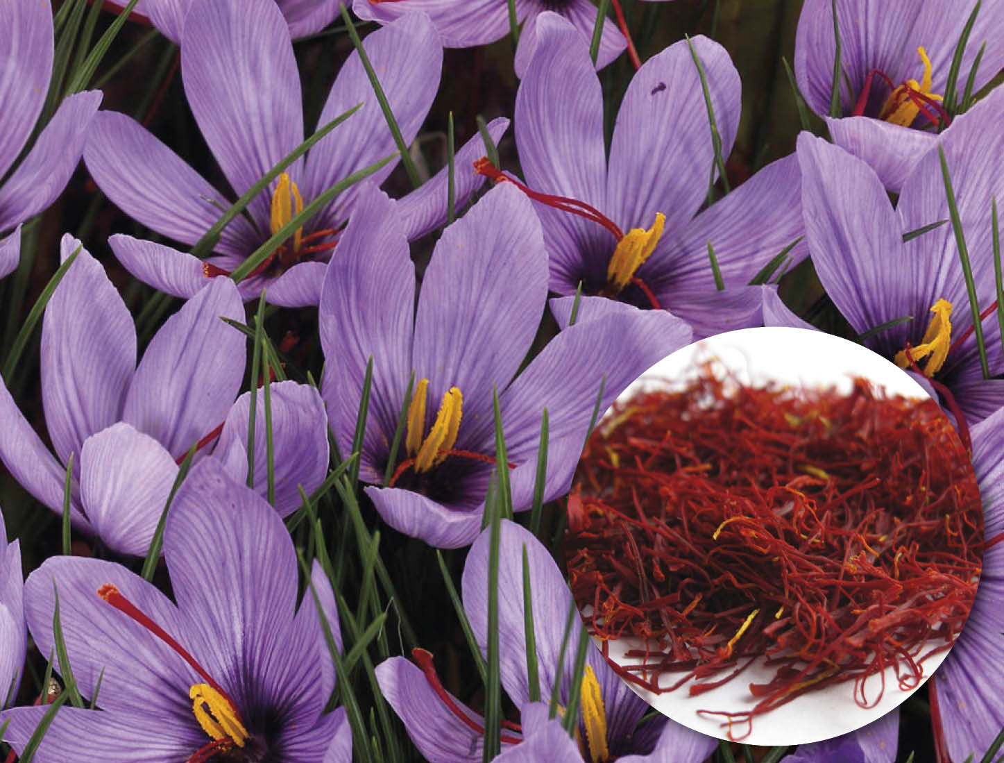 Crocus saffron