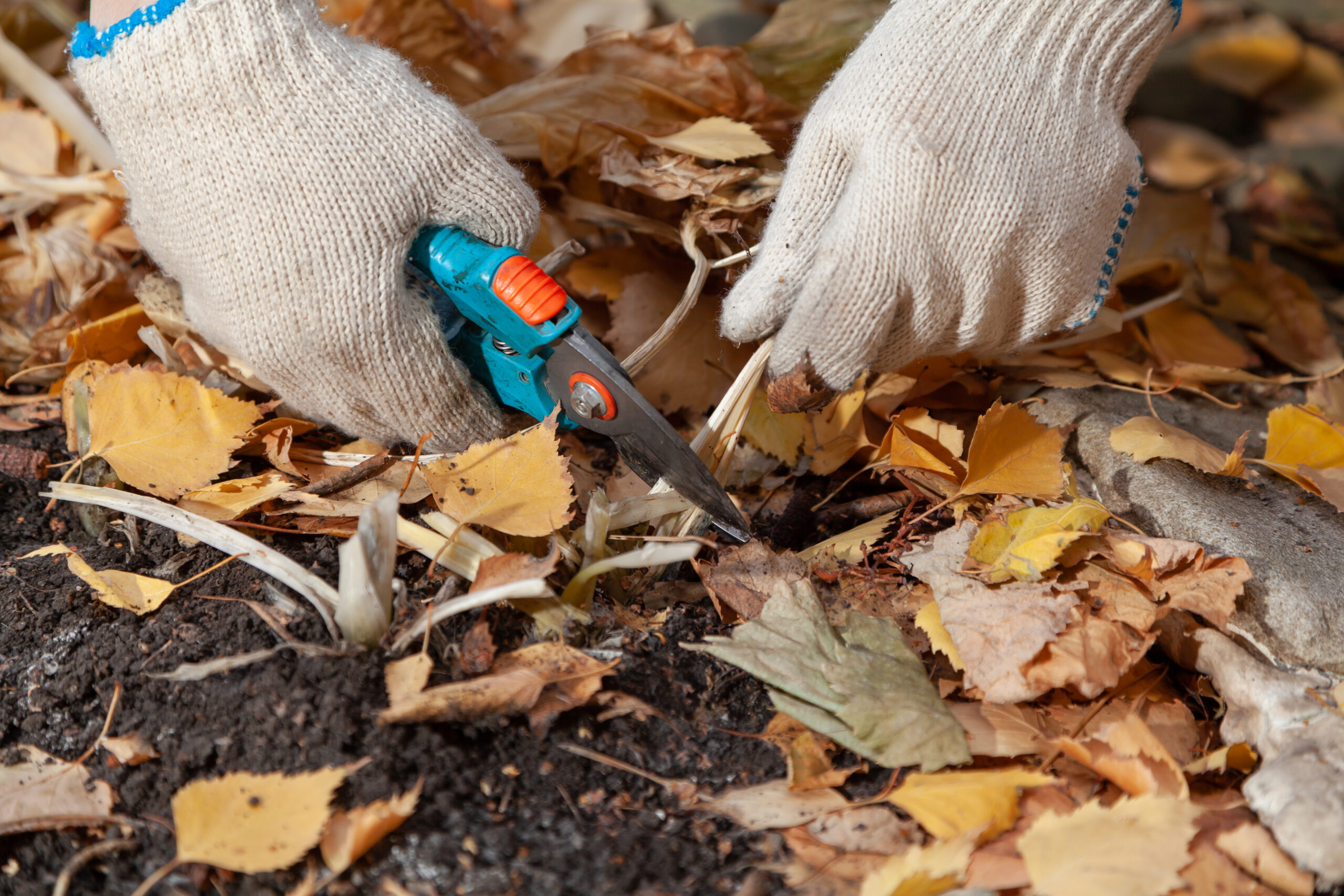 Hands in white gloves trim the yellow stems of the host plant with garden clippers closeup. Around the fallen birch leaves
