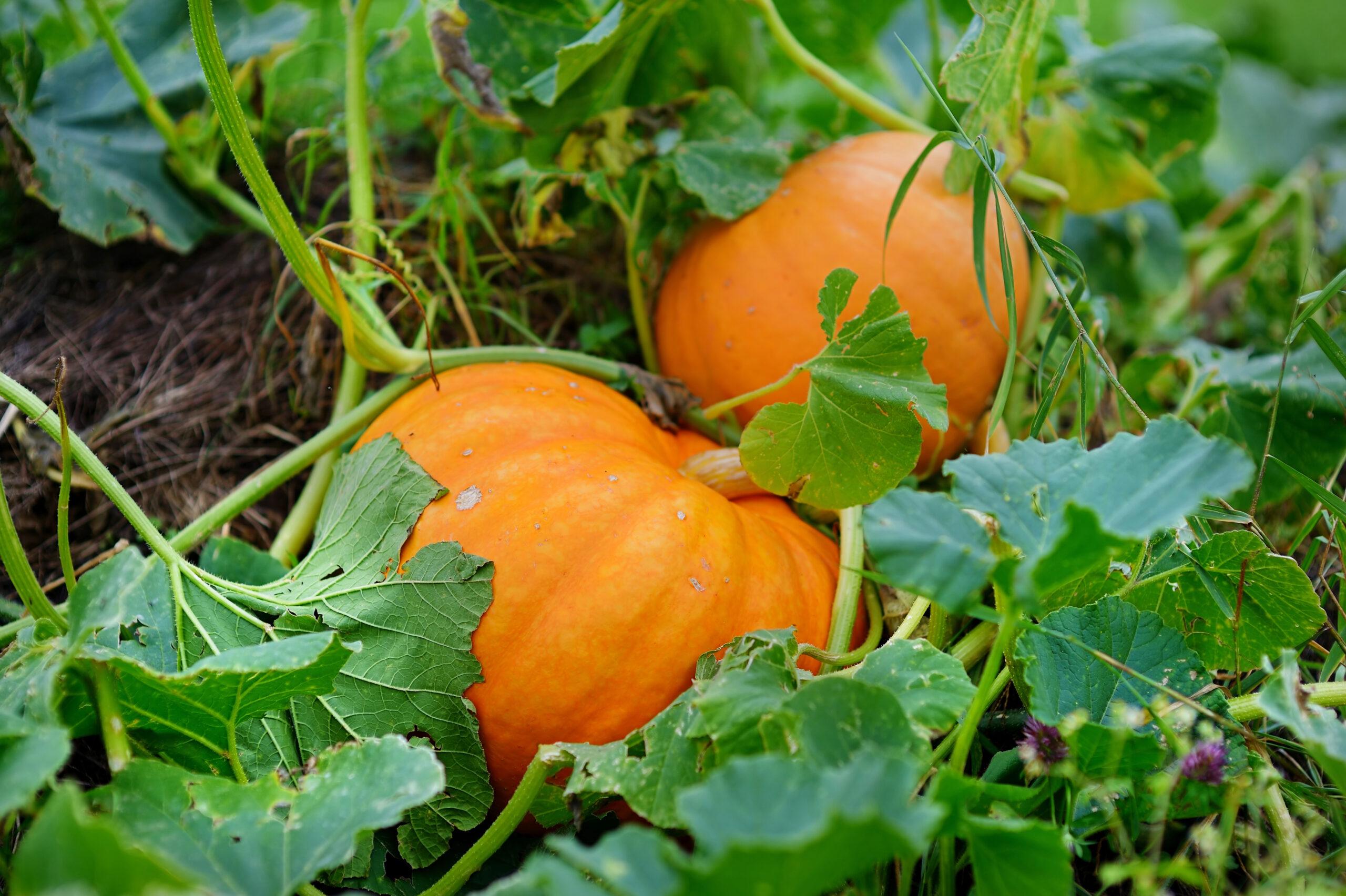Big orange pumpkins growing in the garden
